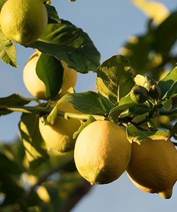 our citrus collection